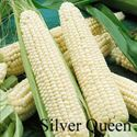 Picture of White Sweet Corn, Silver Queen