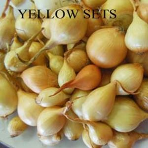 Picture of Onion Sets, Sturon Yellow