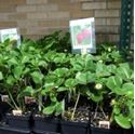 Picture for category Fruit Planting