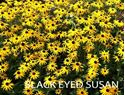 Picture of Black Eyed Susan