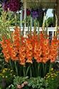 Picture of Gladiola, Olympic Flame