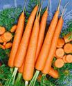 Picture of Carrot,TenderSweet
